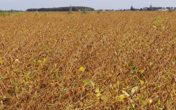 Agricastello, nel 2020 raddoppiati i contratti per le varietà di soia NAV di Sipcam