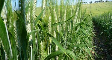 Grano duro, le varietà più adatte per fare produzione biologica
