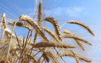 Grano duro, con i contratti di coltivazione più proteine e peso specifico