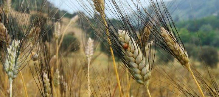 Grano Cappelli, una battaglia inutile che danneggia agricoltori e consumatori
