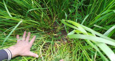 Trasemina del trifoglio su grano a inizio levata: più quintali, meno diserbo