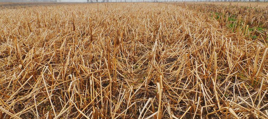 Le cover crops sono strategiche anche per tenere a bada le infestanti