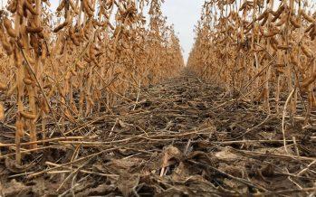 Soia: più reddito con minima lavorazione abbinata a seme a dose variabile
