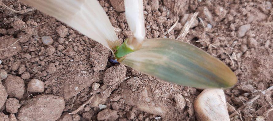 Gelate sul mais, come valutare il danno alle piantine