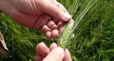 Agricoltura, filiere e aiuti accoppiati necessitano del seme certificato