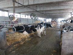 Meno emissioni negli allevamenti? A ogni stalla il suo digestore