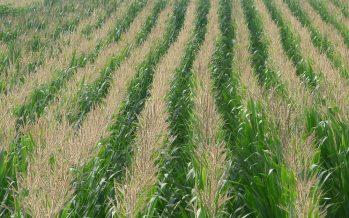 Il sodo non funziona sul mais: la conferma dopo 8 anni di prove