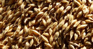 Agricoltura: per pagamenti Pac e condizionalità, obbligatorio il seme certificato