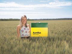 Aurelius, il nuovo grano di forza produttivo e di alta qualità