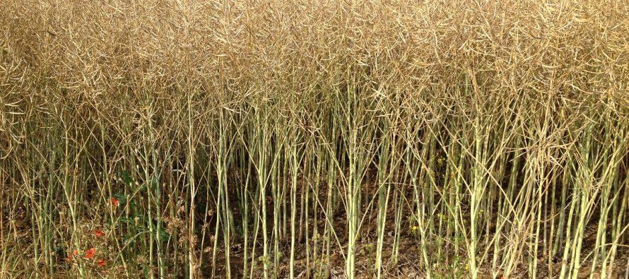 Coltivare il colza: poche spese, sgradito agli uccelli e ottimo per il biologico