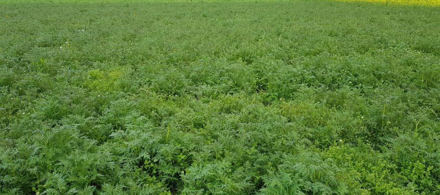 Cover crops sui terreni liberi per la copertura permanente del suolo