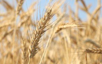 Tritordeum, un nuovo cereale da coltivare in filiera