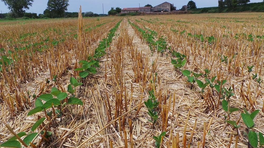 Perfetta e regolare emergenza della soia seminata su sodo in presenza di abbondanti residui colturali.